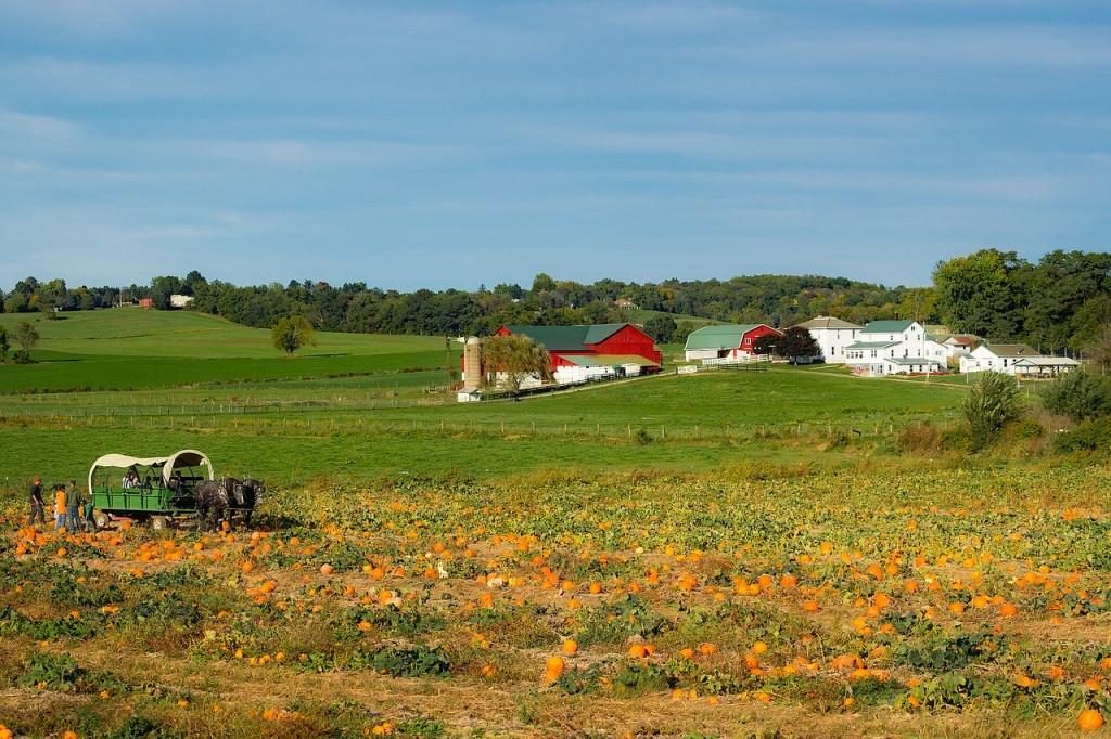 Amish pumpkin farm