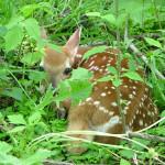 deer at sleepy hollow