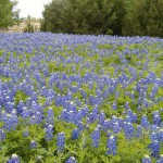 By Mannypr bluebonnets Wikimedia Commons