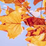 Fresh Autumn Leaves