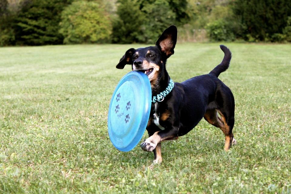 dachshund-2035700_960_720