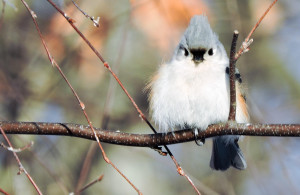 tufted_titmouse_kk_nancy_tully_gbbc_2015