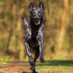 10 tips for a successful dog friendly camping trip, picture of a dog camping and running down a hiking trail, dog running down a trail