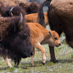 Bison are one of the easiest animals to photograph in Yellowstone. (NPS photo)
