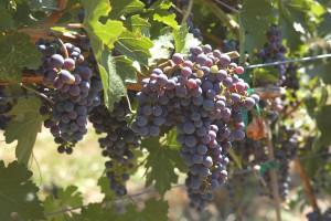 Grape Country