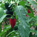 hot peppers growing in gardens